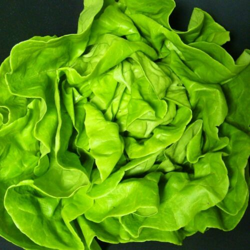 300 Semi LATTUGA-analena ... butterhead tipo per i tradizionali insalate estive