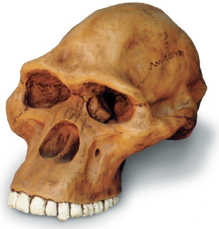 Australopithecus Africanus Cranium réplica Con Soporte