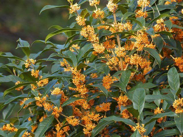 Osmanthus fragans var aurantiacum (Amazing plant     )