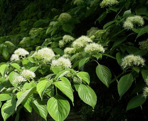 Riesen-Hartriegel Cornus controversa Pflanze 55-60cm Pagoden-Hartriegel Rarität
