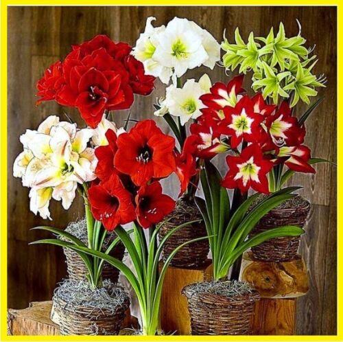 200Pcs Amaryllis Hippeastrum Flower Seeds Home Garden Plants Multi-Color Mix NEW