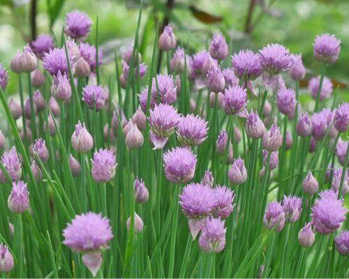 5,500 Bulk Seeds IRISH MOSS PEARLWORT Ground Cover Sagina Subulata