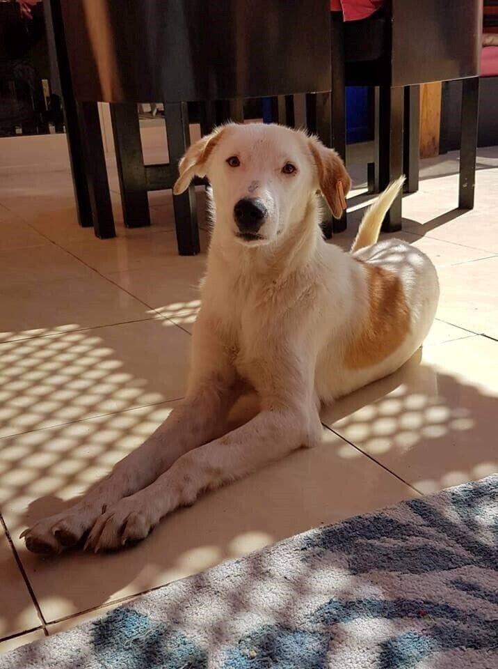 Egyptisk gademix , hund, 12 mdr.