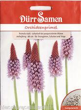 Orchideenprimel Primula vialii mehrjährig 30 Korn Dürr Samen