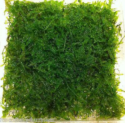 """Triangel Moss  Pad 5x4.5cm """" Vesicularia Sp """" Live Aquarium Plants Shrimp"""