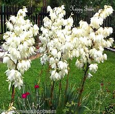 SOAP WEED - Yucca Glauca - 30 SEEDS - Evergreen Perennial
