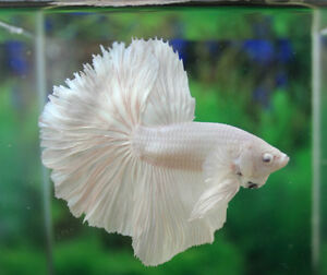 Pure platinum white ohm over halfmoon male live betta for Ebay betta fish