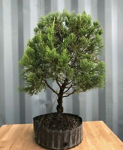Hollywood Twisted Juniper Pre Bonsai Tree By The Bonsai Supply Ebay