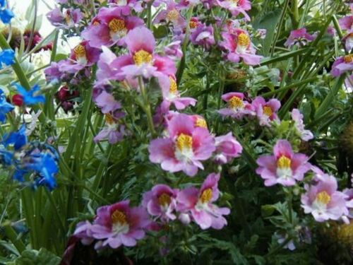 Orchid-Angels Wing Butterfly Flower 100 Seeds