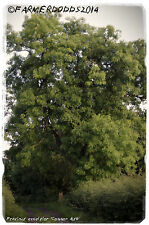 Fraxinus excelsior 'European Ash' [dried seed] [Ex. Co. Durham] 45+ SEEDS