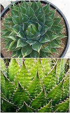 10 semi di agave montana ,piante grasse, piante succulente,seed succulents