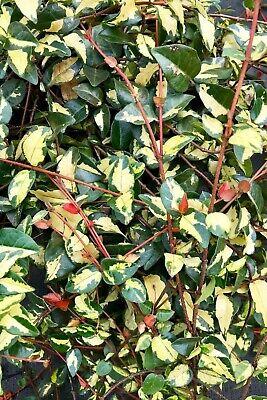 Summer sunset Trachelospermum asiaticum Jasmine quart plant FREE SHIP