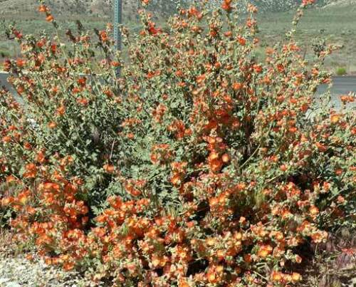 Sphaeralcea ambigua 100 graines-desert globemallow