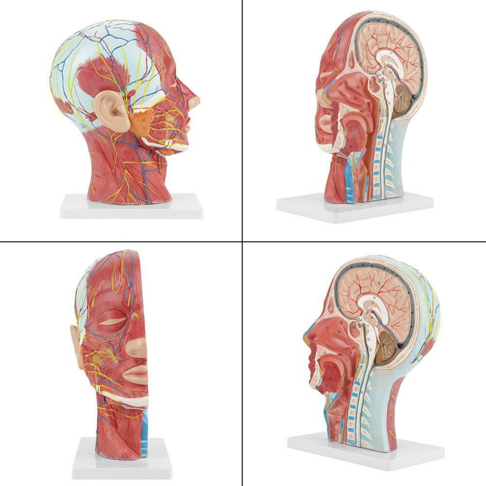 Life Size Human Anatomical Head And Face Anatomy Medical Model For