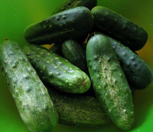 Boston Pickling Heirloom 100 seeds   2020 Seeds Cucumber Seeds