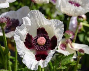 * Pizzicato * Oriental Pavot Graines Au Farbmix En Rose, Blanc, Saumon, Rouge-afficher Le Titre D'origine
