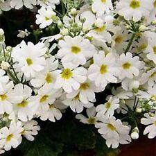 Primrose Fairy White (Primula Malacoides) j- 50 seeds