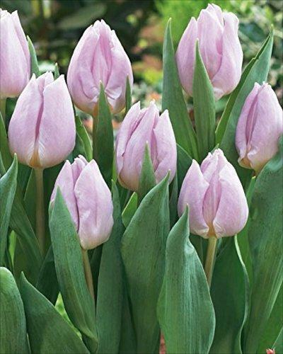 Tulip Bulbs 'Candy Prince' Spring Flowering Bulbs Pack x10
