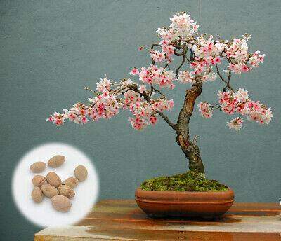 30 Top For Japanese Sakura Cherry Blossom Bonsai Trees Pink Wool