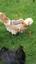 Chicken-Poultry-Saddle-Hen-FLEECE-LINED-XS-S-M-L-XL-WATERPROOF-POULET-HAHNCHEN thumbnail 1