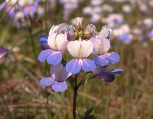 Collinsia Grandiflora Blau Eyed Mary 250 Frische Samen