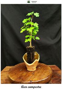 Planta-de-Acer-campestre-Arce-menor-2-Anos