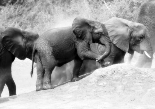 Elephants Nature Photo Poster Black /& White Wall Art Print Card or Canvas