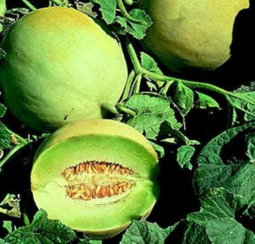 10 Seeds Jumbo Honeydew Melon Sweet Fruits White Antibes Cultivar Muskmelons
