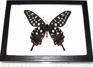 REAL FRAMED BUTTERFLY MADAGASCAR PINK PAPILIO ANTENOR