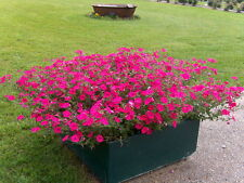 Petunia Seeds - PINK WAVE -  F1 Hybrid - Great for Hanging Baskets - 50+ Seeds