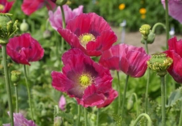 HEN & CHICKENS POPPY FLOWER SEEDS 100 FRESH SEEDS FREE USA SHIPPING
