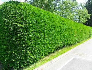 6x western red cedar thuja plicata 3l evergreen hedging grown