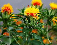 SAFFLOWER - Carthamus Tinctorius - 40 seeds Annuals & Biennials Flower