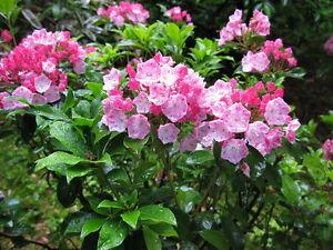 Mountain Laurel Shrub Kalmia Latifolia Seeds Showy