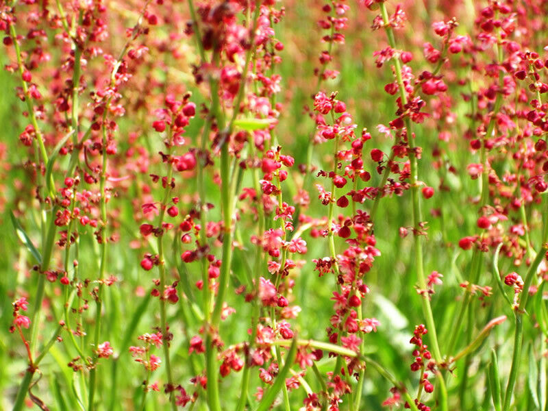 Sheep's Sorrel - Rumex acetosella - 500 Seeds - Wildflower -Red Sorrel