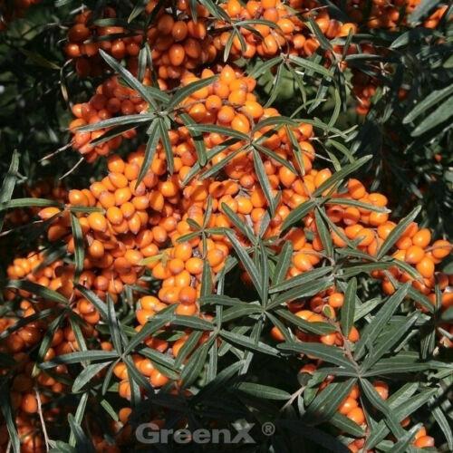 Sabbia spina friesdorfer Orange 40-60cm Hippophae rhamnoides