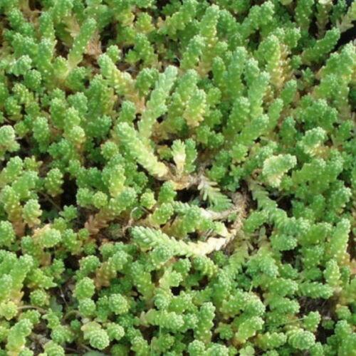 Biting Stonecrop Golden Queen Sedum Acre Aureum 5 x fresh cuttings unrooted
