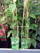 Piante di Mini Kiwi verde senza pelo - Actinidia Arguta Issai