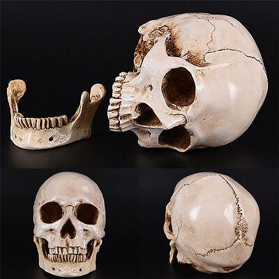 White Resin Replica Skull 1:1 Realistic Life Size Human Anatomy Halloween Decor