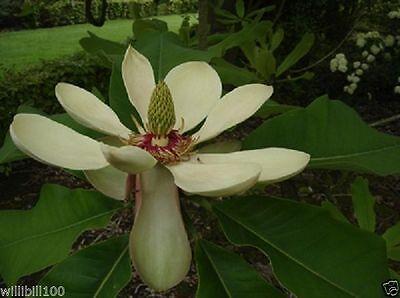 Chinese Magnolia biloba Seeds,Houpu Magnolia, Magnolia-bark Magnolia