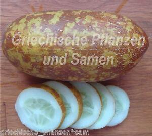 Poona-Kheera-Gurke-aus-Indien-5-frische-Samen-knackige-Salat-Gurken