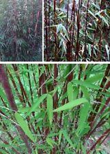 Hecken für den Garten roter Bambus Fargesia Jiuzhaigou winterhart schnellwüchsig