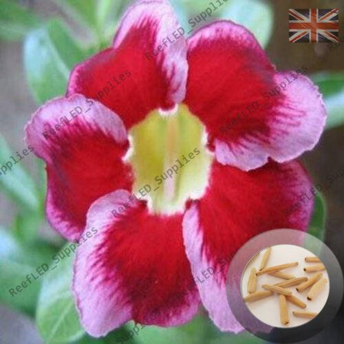 """Frische Tragfähige /"""" Santa Cruz /"""" Adenium Obesum Desert Rose 5 Samen UK"""