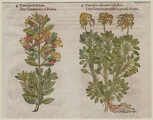 JOHN-GERARD-BOTANICA-MATTHIOLI-1597-TEUCRIUM-BOETICUM-CAMEDRIO-FIORI-ERBE