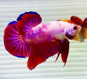 "US SELLER (A-Grade) Male Pink Dragon 2.5"" Giant Betta imported from Thailand"