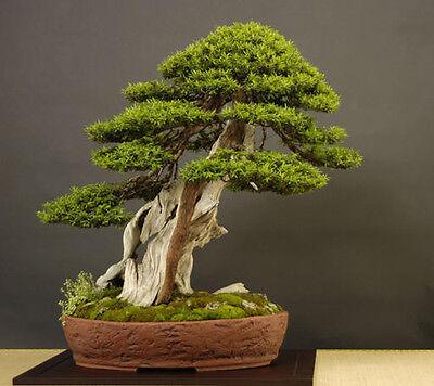 Japanese Larch Larix kaempferi outdoor bonsai tree  seeds figofago