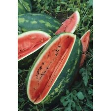 300 CRIMSON SWEET WATERMELON  SEEDS 2017 ( BULK - SAVE!!! )