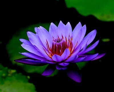 5 Purple Water Lily Pad Nymphaea Sp Pond Flower Seeds