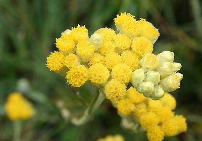 Immortelle d/'Italie 500  Graines d/'Hélichryse Helichrysum italicum Curry seeds