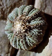 Aztekium ritteri - 10 SEEDS / KORN - VERY RARE! - cactus, Kaktus